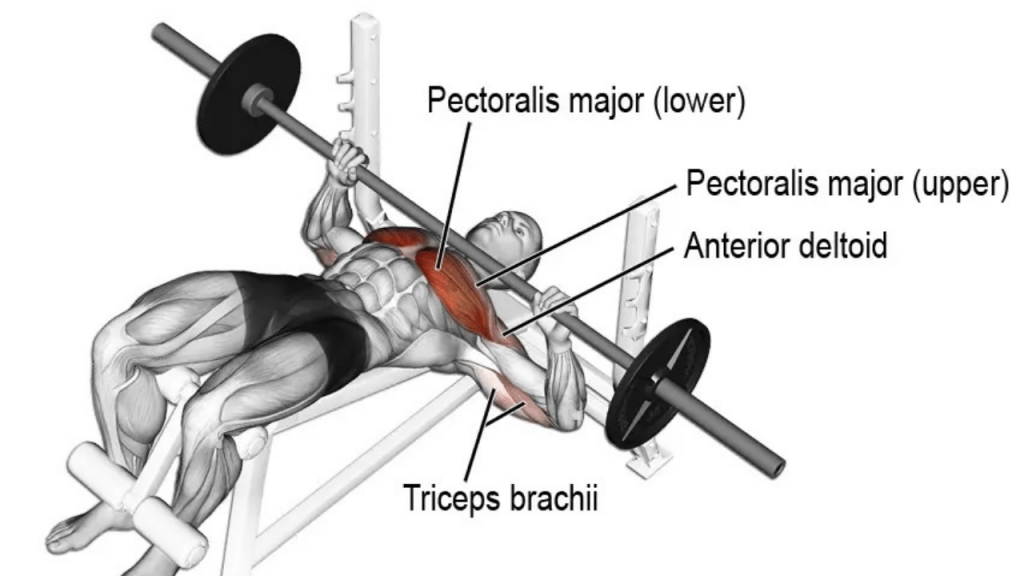 Decline Barbell Bench Press For Lower Chest